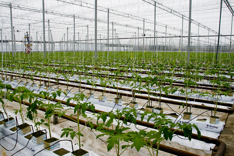 Setting up tomatoes in a modern greenhouse