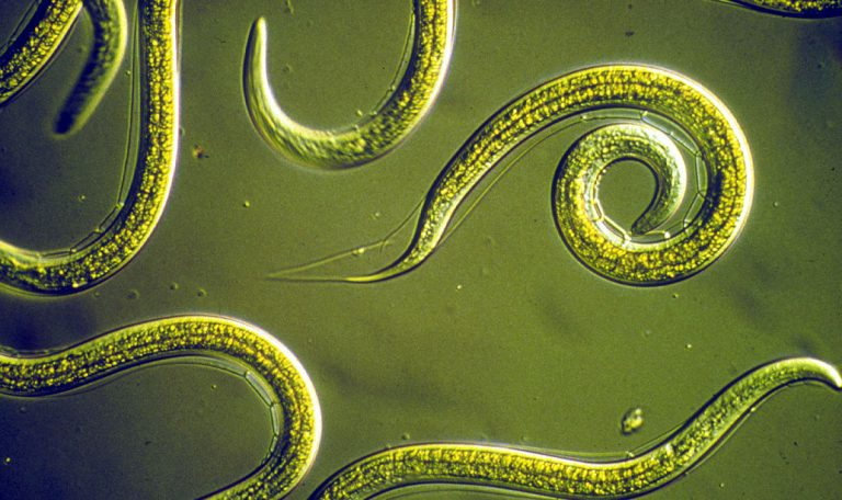 Image of group of nematodes