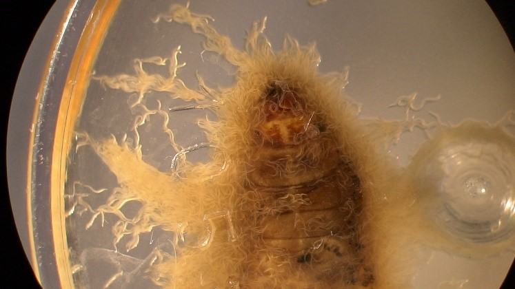 Infective juvenile insect killing larvae emerging from a dead insect.