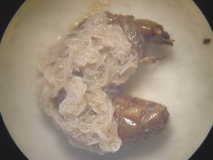 Beneficial larvae emerging from an insect cadaver.