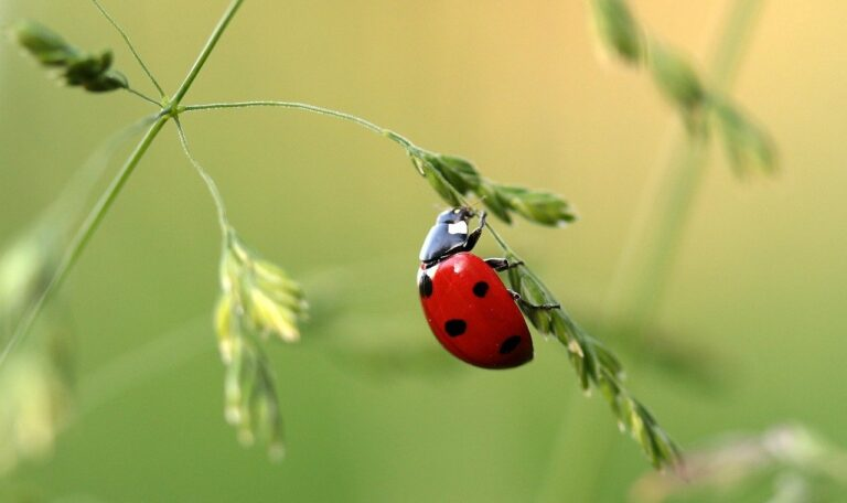Ladybug, commonly known as ladybird, pest on crop