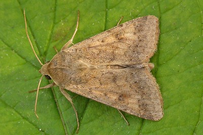 Cotton bollworm (Helicoverpa armigera) moth