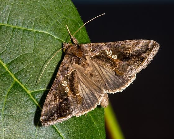 Soybean looper (Chrysodeixis includens) moth on a leaf
